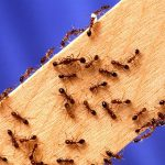 Fire ant season and how to treat them